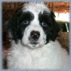 Tanaki Portuguese Water Dogs Extended Family